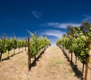 vineyard & bright blue sky