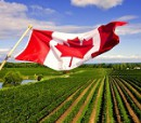 Canadian flag in vineyard2 - Copy
