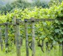 uk vineyard