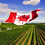 Canadian flag in vineyard2 Copy - Don't tell Donald