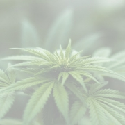 cannabis picture 180x180 - Global Trends in Wine 2020 Video Series